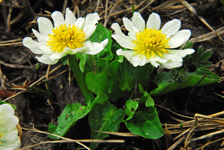 Two small snow-white flowers with yellow centers and big lush green leaves.